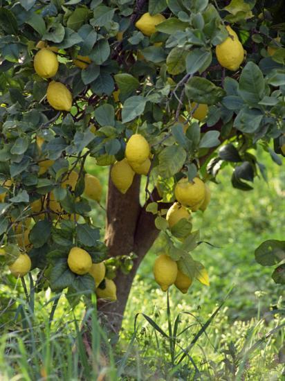 Close-Up of Lemon Tree, Denia, Spain, Europe-Jan Baldwin-Photographic Print