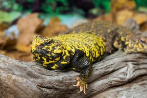 Close-up of Leopard gecko (Eublepharis macularius) in forest