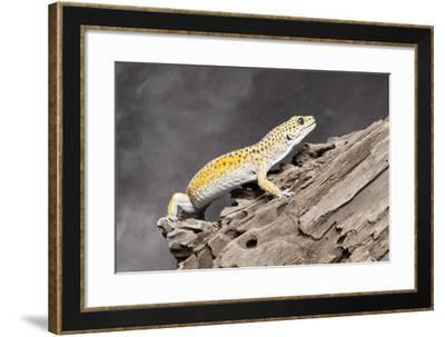 Close-up of Leopard gecko (Eublepharis macularius) in forest--Framed Photographic Print