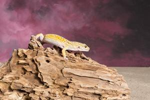 Close-up of Leopard gecko (Eublepharis macularius)