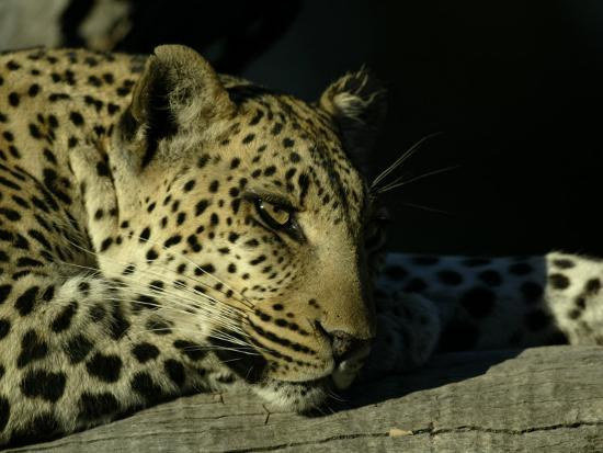 Close-up of Leopard Lying on a Tree Branch-Beverly Joubert-Photographic Print