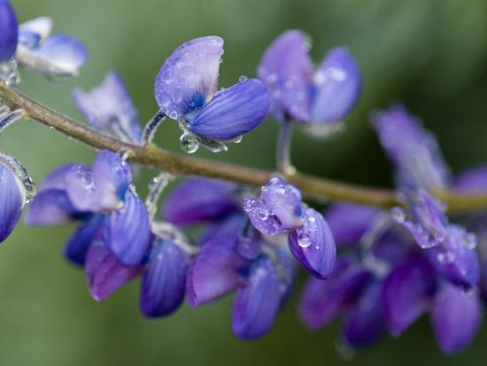 Close-Up of Lupine-Douglas Steakley-Photographic Print
