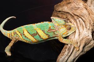 Close-up of Madagascar chameleon on wood