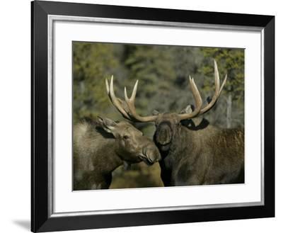 Close-up of Male and Female Moose Nuzzle, Anchorage, Alaska, USA-Arthur Morris-Framed Photographic Print