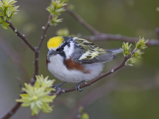 Close-up of Male Chestnut-Sided Warbler on Tree Limb,  Pt. Pelee National Park, Ontario, Canada-Arthur Morris-Photographic Print
