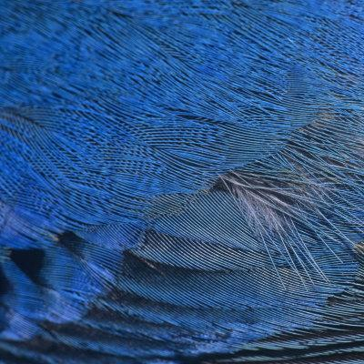 Close-Up of Male Indigo Bunting Feathers, Passerina Cyanea, North America-Joe McDonald-Photographic Print