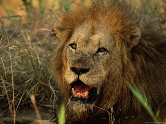 Close-Up of Male Lion (Panthera Leo), Mala Mala Game Reserve, Sabi Sand Park, South Africa, Africa-Sergio Pitamitz-Photographic Print