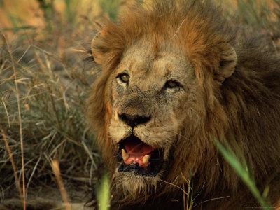 https://imgc.artprintimages.com/img/print/close-up-of-male-lion-panthera-leo-mala-mala-game-reserve-sabi-sand-park-south-africa-africa_u-l-p2rczd0.jpg?p=0