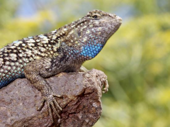 Close-up of Male Western Fence or Blue Belly Lizard, Lakeside, California, USA-Christopher Talbot Frank-Photographic Print