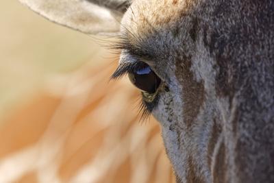 https://imgc.artprintimages.com/img/print/close-up-of-masai-giraffe-eyeball_u-l-q1dgqnj0.jpg?p=0