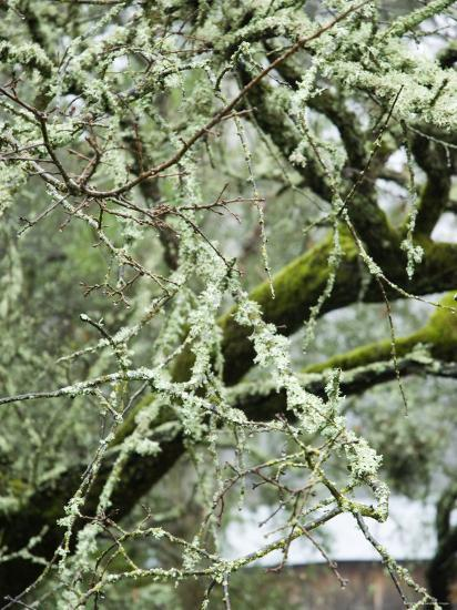 Close-Up of Moss Covered Wet Tree Branch, California-James Forte-Photographic Print