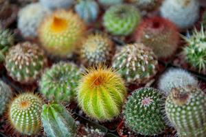 Close-Up of Multi-Colored Cacti