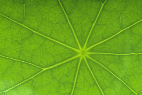 Close-Up of Nasturtium Leaf-DLILLC-Photographic Print