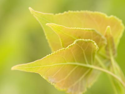 Close Up of New Leaves Growing on a Plains Cottonwood Tree-Phil Schermeister-Photographic Print