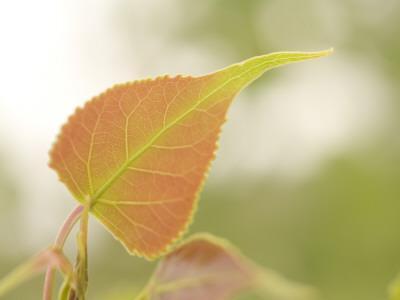 https://imgc.artprintimages.com/img/print/close-up-of-new-leaves-growing-on-a-plains-cottonwood-tree_u-l-pc8bgd0.jpg?p=0