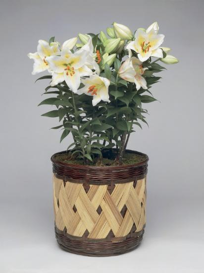 Close-Up of Nicotiana Plants in a Pot-G^ Cigolini-Photographic Print