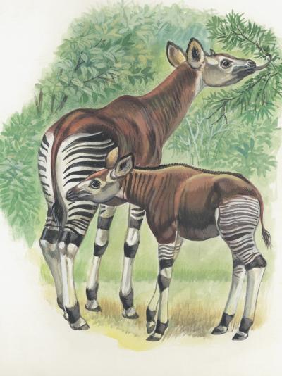 Close-Up of Okapi (Okapia Johnstoni)--Photographic Print