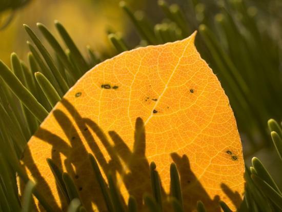 Close-up of Orange Quaking Aspen Leaf Backlit Among Pine Branches-Phil Schermeister-Photographic Print