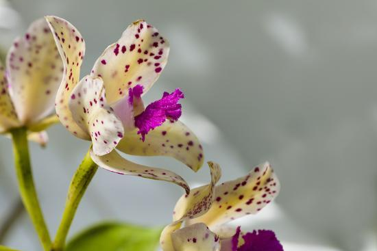 Close-up of Orchid flowers in bloom-Panoramic Images-Photographic Print