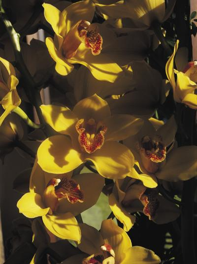 Close-Up of Orchid Flowers-C^ Sappa-Photographic Print