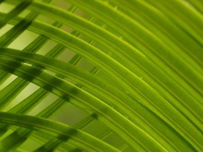 Close-Up of Palm Leaves Creating a Diagonal Background in Cameroon, Africa--Photographic Print