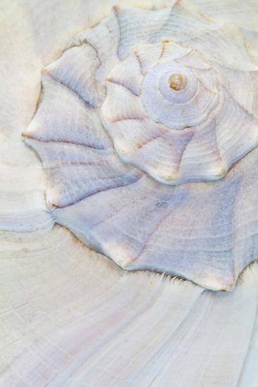 Close-Up of Pastel Seashell, Washington, USA-Jaynes Gallery-Photographic Print