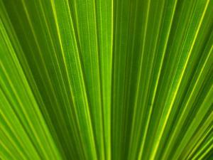Close-Up of Pattern Created by Palm Leaves in Cameroon, Africa