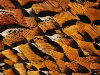 Close-Up of Pheasant Feathers, Medicine Rocks, Montana, USA-Darlyne A^ Murawski-Photographic Print
