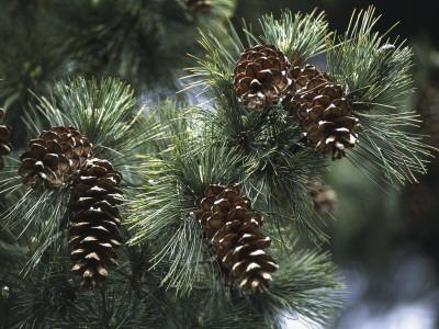 https://imgc.artprintimages.com/img/print/close-up-of-pine-cones-on-a-macedonian-pine-tree-pinus-peuce_u-l-q10bn3w0.jpg?p=0
