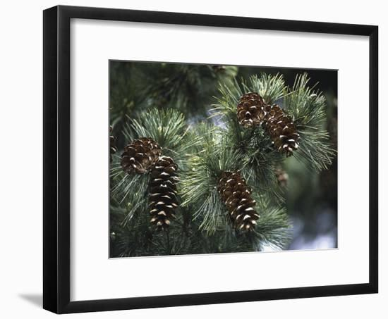 Close-Up of Pine Cones on a Macedonian Pine Tree (Pinus Peuce)-C. Sappa-Framed Photographic Print