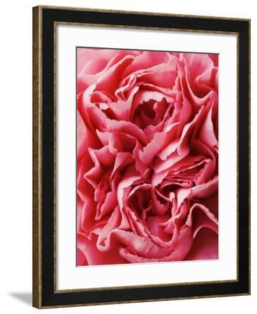 Close-Up of Pink Carnation-Clive Nichols-Framed Photographic Print