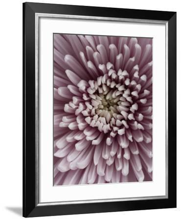 Close-Up of Pink Chrysanthemum-Clive Nichols-Framed Photographic Print