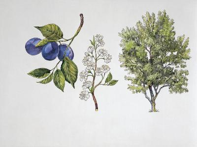 Close-Up of Plums with a Branch and Shrub (Prunus Domestica)--Giclee Print