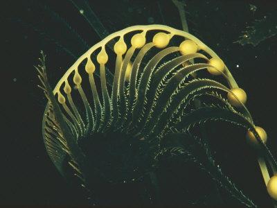 https://imgc.artprintimages.com/img/print/close-up-of-pneumatocysts-or-gas-filled-bladders-that-adorn-the-tip-of-a-kelp-frond_u-l-p4eu8t0.jpg?p=0