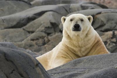 Close-Up of Polar Bear on Rocky Ground, Svalbard, Norway-Jaynes Gallery-Photographic Print