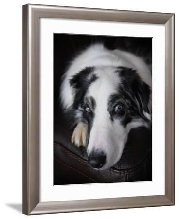 Close Up of Portrait of a Pet Australian Shepherd Dog-Amy and Al White and Petteway-Framed Photographic Print