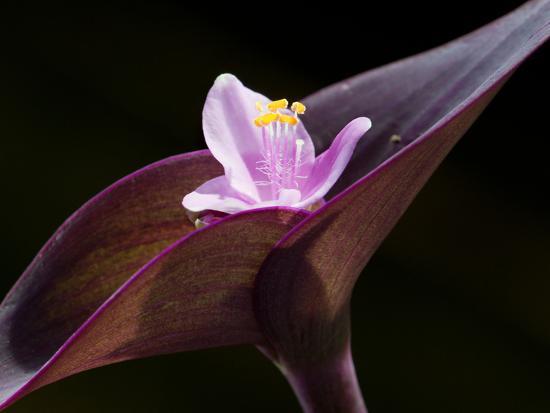 Close Up of Purple Heart Flower and Bracts, Tradescantia Pallida-Darlyne A^ Murawski-Photographic Print