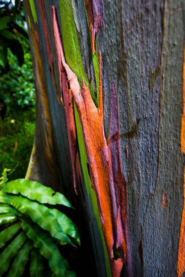 Close-up of Rainbow Eucalyptus (Eucalyptus deglupta) tree, Maui, Hawaii, USA--Photographic Print