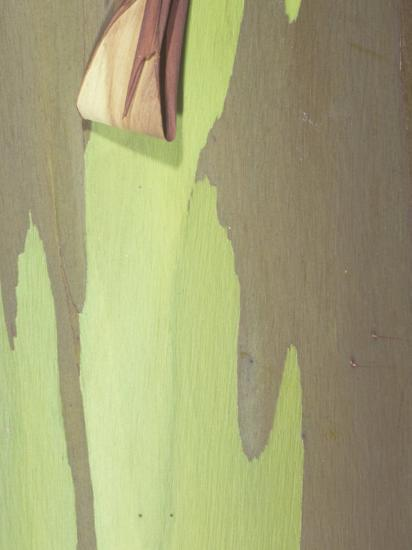 Close-Up of Rainbow Eucalyptus Tree Bark, Eucalyptus Deglupta, Australia-George Loun-Photographic Print