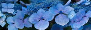 Close-Up of Raindrops on Blue Hydrangea Flowers