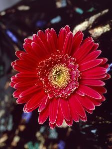 Close-Up of Red Gerbera Daisy