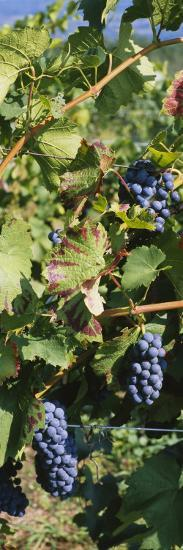 Close-Up of Red Grapes in a Vineyard, Finger Lake, New York, USA--Photographic Print