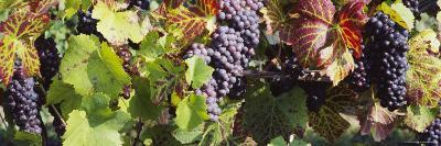 Close-Up of Red Grapes in a Vineyard, Finger Lake Region, New York, USA--Photographic Print
