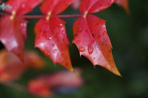 Close up of Red Leaves in Manchester, England, United Kingdom (photo)