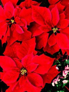 Close-up of red Poinsettia flowers