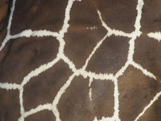 Close-Up of Reticulated Giraffe Skin and Color Pattern, Giraffa Camelopardalis, East Africa-Joe McDonald-Photographic Print