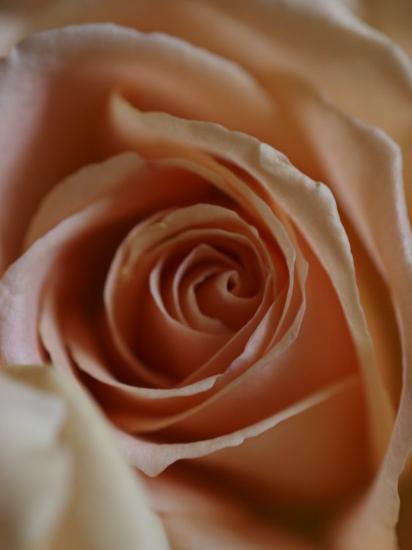 Close-Up of Rose-Elise Donoghue-Photographic Print