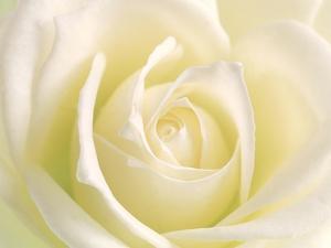 Close-Up of Rose