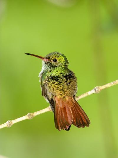 Close-Up of Rufous-Tailed Hummingbird Perching on a Twig, Costa Rica--Photographic Print
