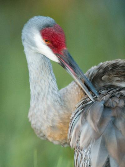 Close-up of Sandhill Crane Preening Its Feathers, Indian Lake Estates, Florida, USA-Arthur Morris-Photographic Print